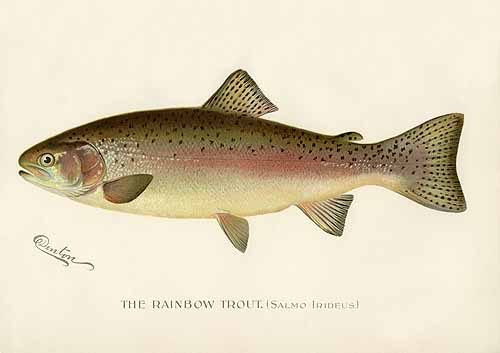The Rainbow Trout (Salmo Irideus)