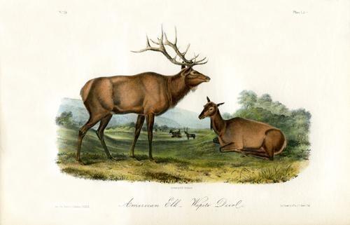 America Elk - Wapiti Deer