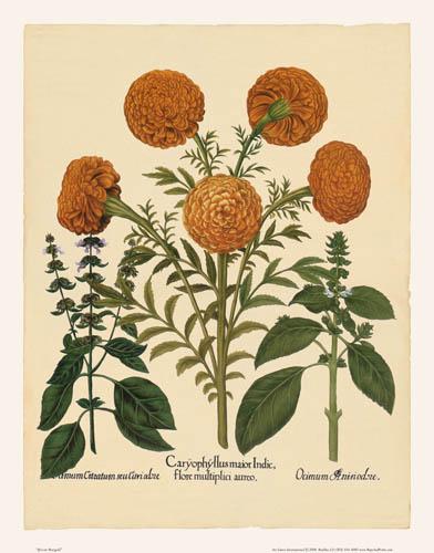 Besler - African Marigold