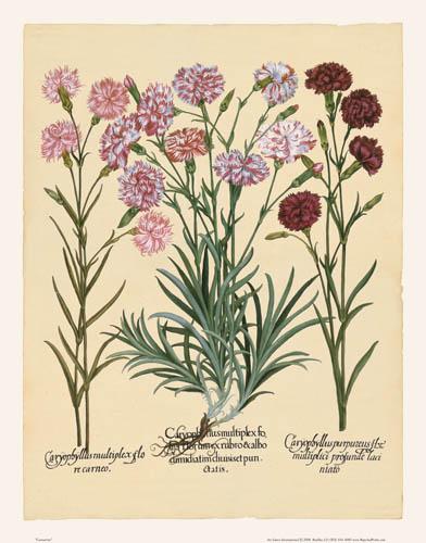 Besler - Carnations