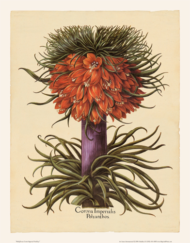 Besler - Crown-Imperial Fritillary
