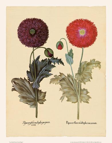Besler - Garden Poppies