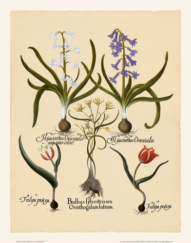 Besler - Hyacinth