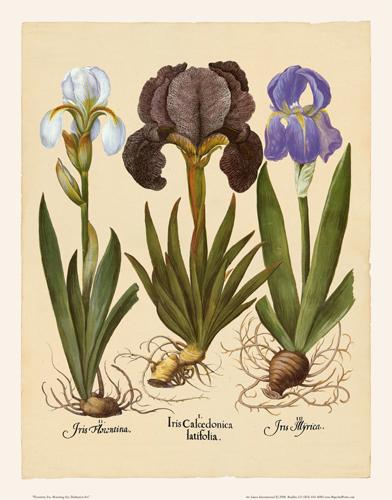 Besler - Iris