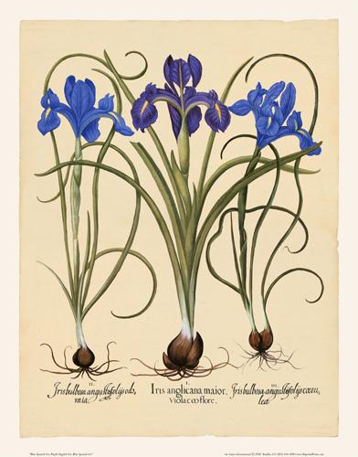 Besler - Iris-2