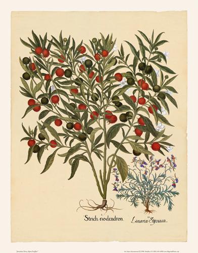 Besler - Jerusalem Cherry