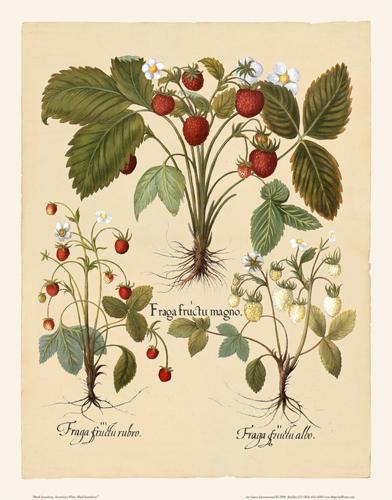 Besler - Strawberry