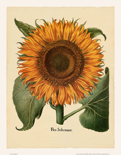 Besler - Sunflower