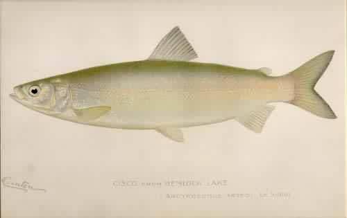 Cisco from Hemlock Lake