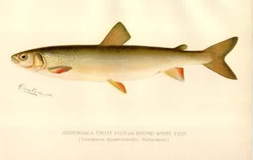 Adirondack Frost Fish or Round White Fish