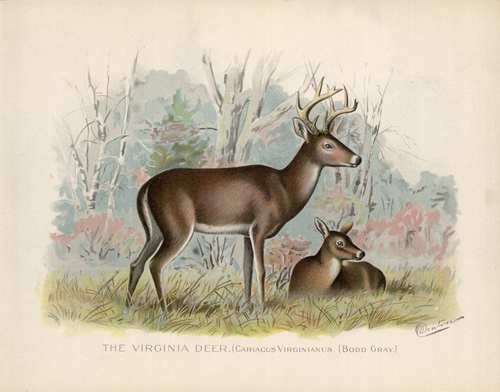 The Virginia Deer (Cariacus Virginianus) (Bodd Gray)