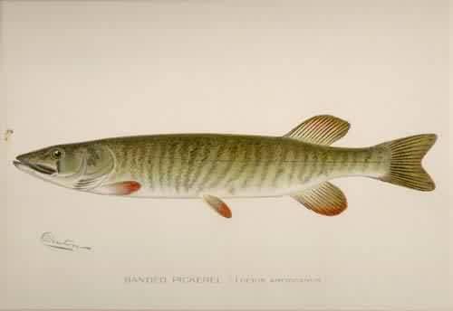 Banded Pickerel (Lucius Americanus)
