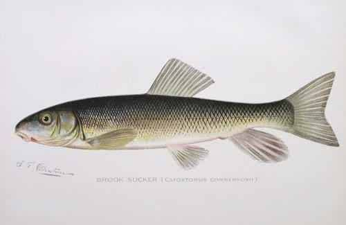 Brook Sucker (Catostomus Commersonii)