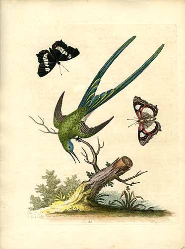 The Long Tailed Hummingbird