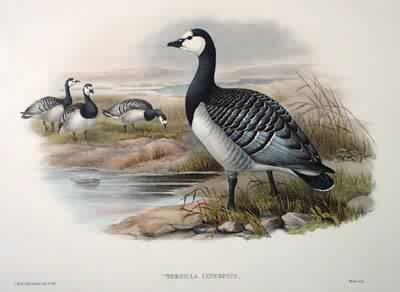 Barnicle Goose
