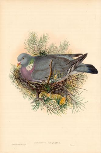 Wood-Pegeon or Cushat (Palumbus Torquatus)