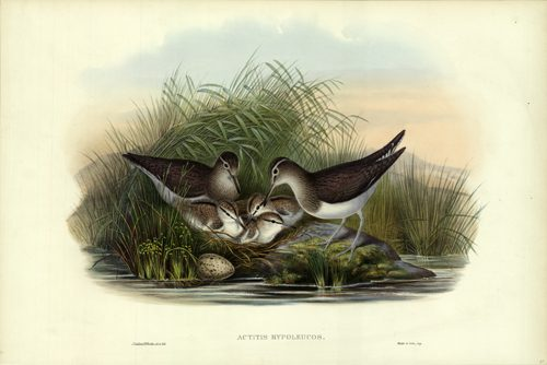 Actitus Hypoleucos (Summer Snipe)