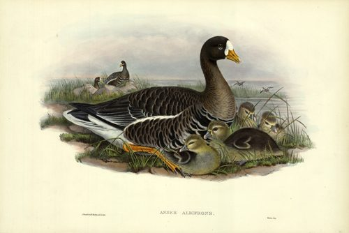 ANSER ALBIFRONS (WHITE-FRONTED GOOSE)