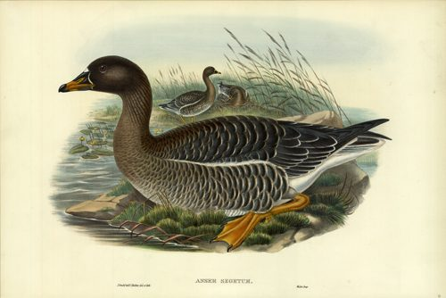 Anser Segetum (Bean-Goose)