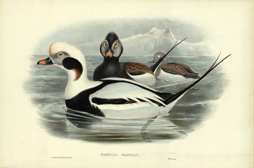 Harelda Glacialis (Long-Tailed Duck)