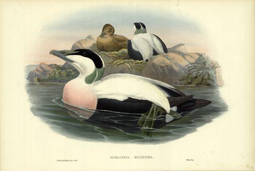 Somateria Mollissima (Eider Duck)