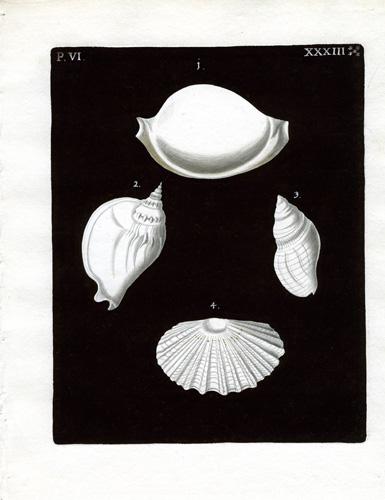 (Four Shells)