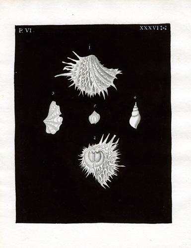 (Five Shells)