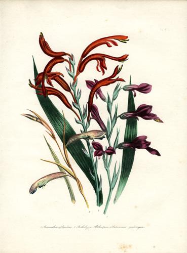 Antholyza - Anisanthus - Petamenes
