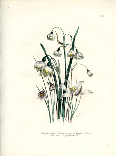 Acis (Narrow-Leaved Snowflake) - Leucojum (Snowflake) - Gethyllis (Cape Crocus)