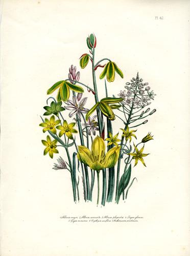 Albuca - Gagea - Orythyia