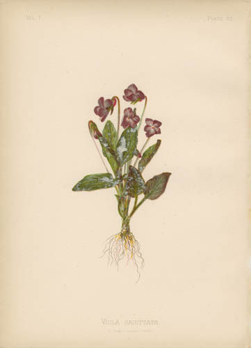 Arrow-Leaved Violet
