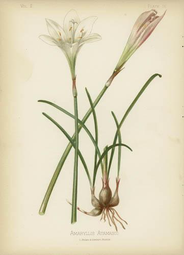 Atamasco Lily