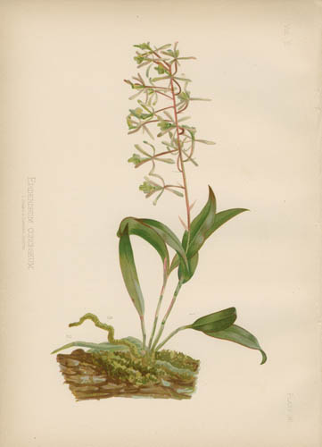 Bartram's Tree-Orchis(Orchid)