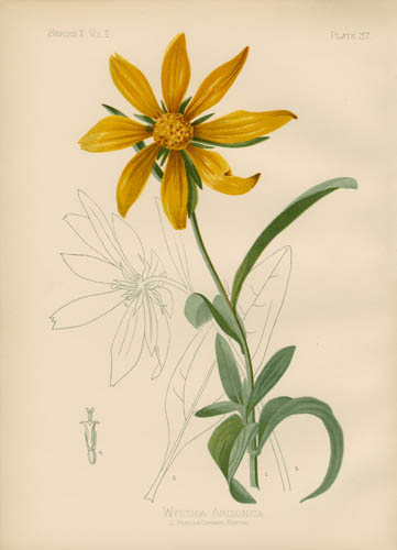 Arizonian Wyethia