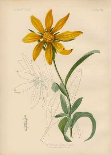 Arizonian Wyethia