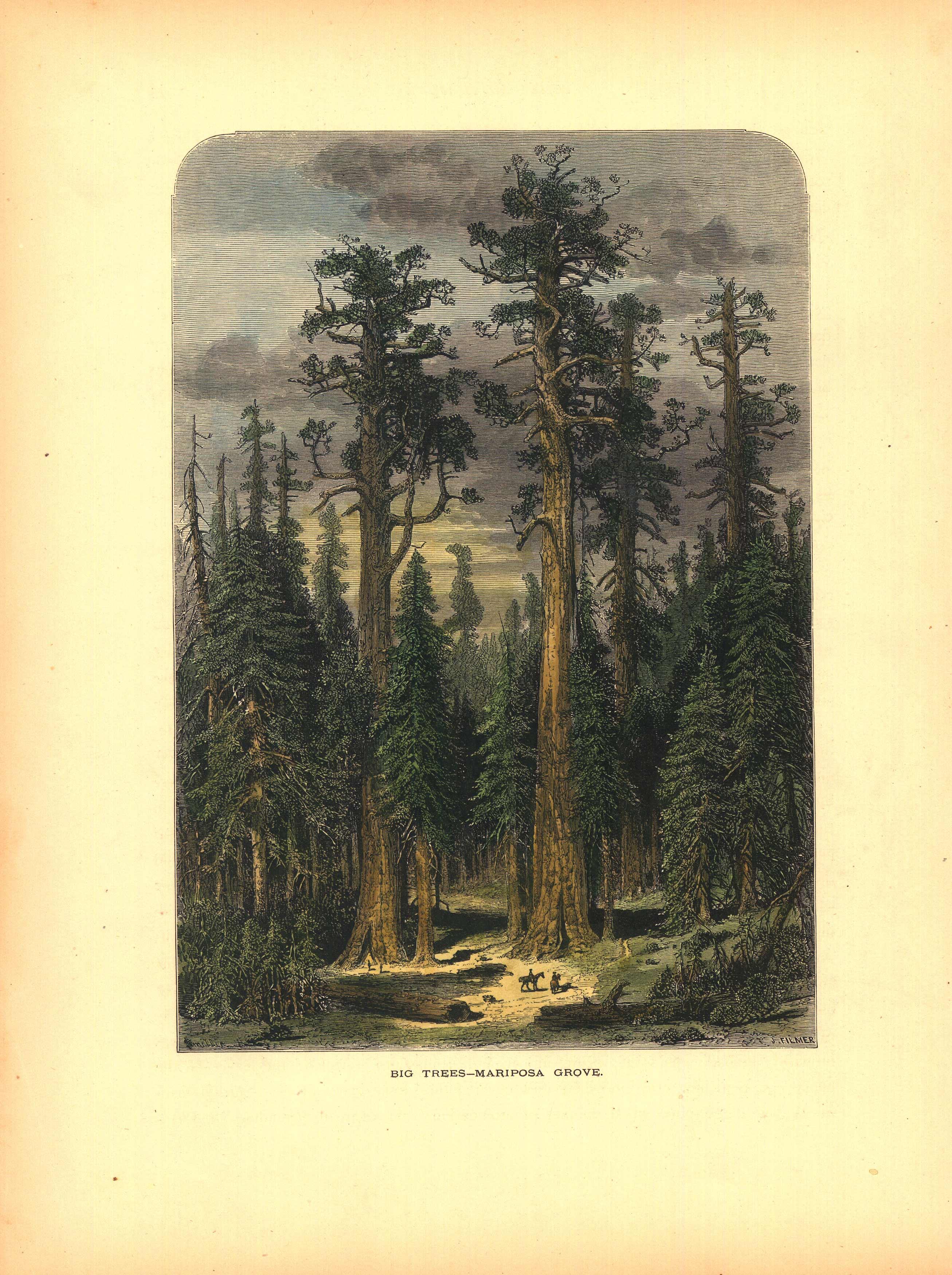 Big Trees - Mariposa Grove