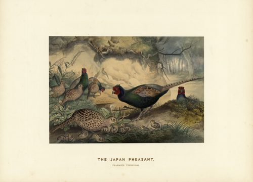 The Japan Pheasant (Phasianus Versicolor)